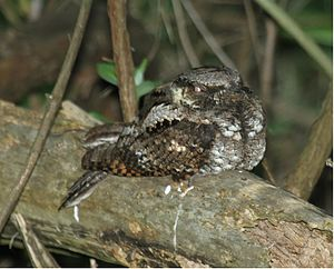 Eastern whip-poor-will - Magee Marsh - Ohio (flash photo)