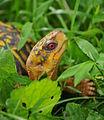 Eastern Box Turtle (Terrapene carolina carolina) - Fairfax - 04.JPG