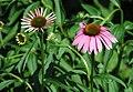 Echinacea purpurea (purple coneflowers) 4 (38736910614).jpg