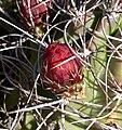Echinocereus triglochidiatus 6.jpg