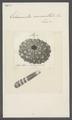 Echinometra mammillata - - Print - Iconographia Zoologica - Special Collections University of Amsterdam - UBAINV0274 107 01 0003.tif