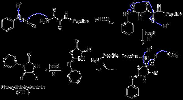 aminozuur arginine