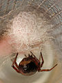 Egg sac of Steatoda bipunctata.jpg