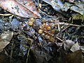 Eggs of unidentified invertebrate on a compost pile.jpg