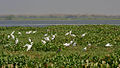 Egrets in AP W IMG 3792.jpg