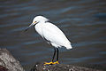 Egretta thula -Shoreline Park, Mountain View, California, USA-8.jpg