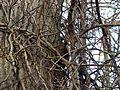 Eichhörnchen - panoramio.jpg