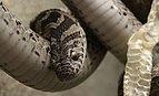 Eierschlange Dasypeltis scabra.jpg