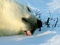Eisbär 2004-11-17.jpg