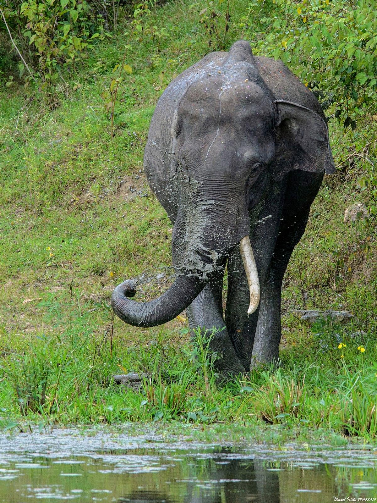 borneo elephant wikipedia
