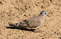 Emerald-spotted Wood Dove, Turtur chalcospilos at uMkhuze Game Reserve, kwaZulu-Natal, South Africa (15438768042).jpg