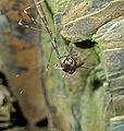 Emesaya brevipennis (thread-legged assassin bug feeding on a fly) (Tener Mountain Rt. 32 roadcut, southern Ohio, USA) 3 (17249373712).jpg