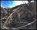 Empilement de souches de pins après désouchage d'une coupe rase 2018 Landes de Gascogne 12.jpg