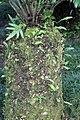 Encephalartos altensteinii 1zz.jpg
