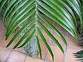 Encephalartos villosus - detail.JPG