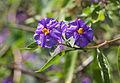 Enzianstrauch (Solanum) (15200830362).jpg