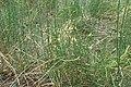 Ephedra chilensis kz02.jpg