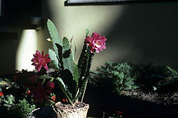 Epiphyllum ackermannii WPC.jpg