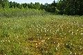 Eriophorum angustifolium kz01.jpg