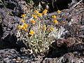 Eriophyllum lanatum integrifolium (4395569511).jpg