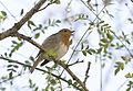 Erithacus rubecula - European robin, Adana 2016-12-10 07-2.jpg