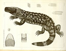 First drawing of Gila monster from 1857