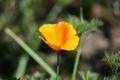 Eschscholzia californica 2004.jpg