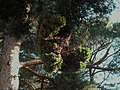 Escoba de bruja - Candidatus phytoplasma pini (7494226666).jpg