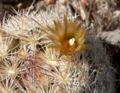 Escobaria deserti 3.jpg