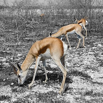 Veld - Springboks in the burned veld; Etosha National Park, Namibia