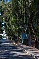 EucalyptusTreesWest.jpg