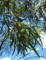 Eucalyptus thozetiana foliage.jpg