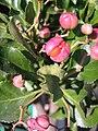 Euonymus japonicus (pink).jpg
