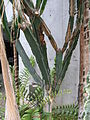 Euphorbia ingens1.JPG