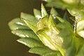 Euphrasia.officinalis3.-.lindsey.jpg