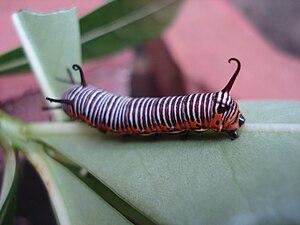 Canal de Roubaix - Image: Euploea core caterpillar