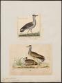 Eupodotis arabs - - Print - Iconographia Zoologica - Special Collections University of Amsterdam - UBA01 IZ17200043.tif