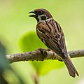 Eurasian Tree Sparrow (14181664512).jpg