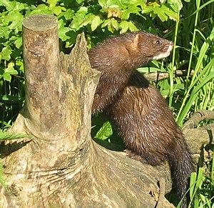 European Mink is now extinct in the major part...