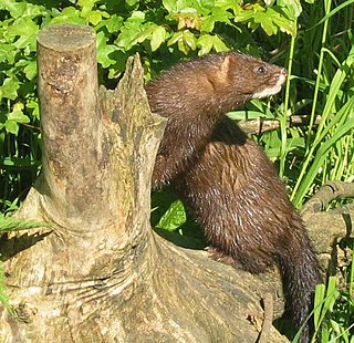 European mink species of mammal