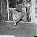 Europacup loting kwartfinale, de hond (boxer) van Frits Flinkevleugel, Bestanddeelnr 917-2548.jpg