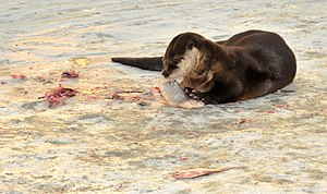 Eurasian otter - Otter feeding on fish