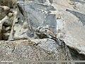 European Roller (Coracias garrulus) (29925469950).jpg