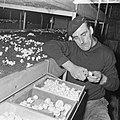 Ex-oesterkwekers in Yerseke halen de eerste champignons binnen, de kas, Bestanddeelnr 916-0720.jpg