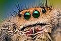 Eyes of a Female Jumping Spider - Phidippus regius - Florida (8177287529).jpg