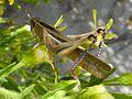 Eyprepocnemis plorans - Flickr - gailhampshire (2).jpg