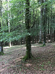 Fagus-sylvatica-cansiglio-forest-italy.jpg