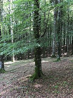 <i>Fagus sylvatica</i> Species of deciduous tree