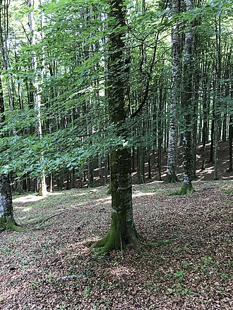 Fagus sylvatica - European beech in alpine forest (Italy)