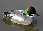 Falcated.duck.arp.750pix.jpg